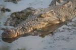 crocodil - Männlich Krokodil (13 Jahre)