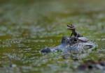 Yupie - Männlich Krokodil (1 Monat)