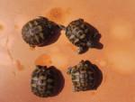 Nos 4 bébés tortues - (1 Monat)