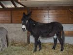 Ane - Männlich Esel (3 Jahre)