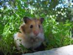Dewey - Männlich Hamster