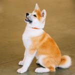 Un Shiba et un Akita - Hund