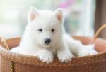 Un chiot Husky Sibérien blanc dans son panier