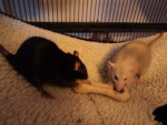 Annie and Lola - Ratte (5 Monate)
