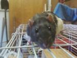 Ziggy - Männlich Ratte (2 Jahre)