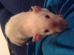 Carrie - Ratte (Andere)