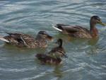 Famille canard - Vogel (5 Monate)