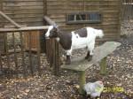 Johnnie - Männlich Ziege (8 Jahre)